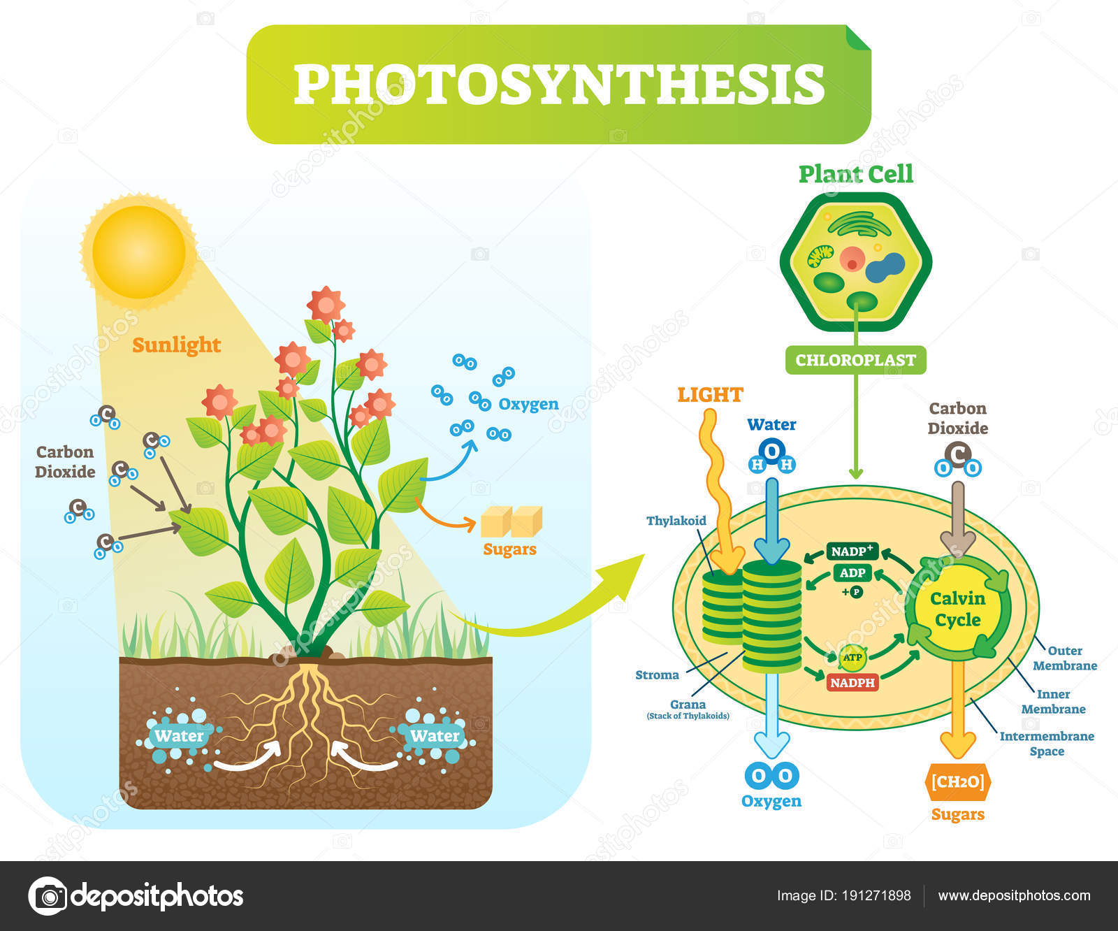 Photosynthesis Picture Diagram Photosynthesis Biological