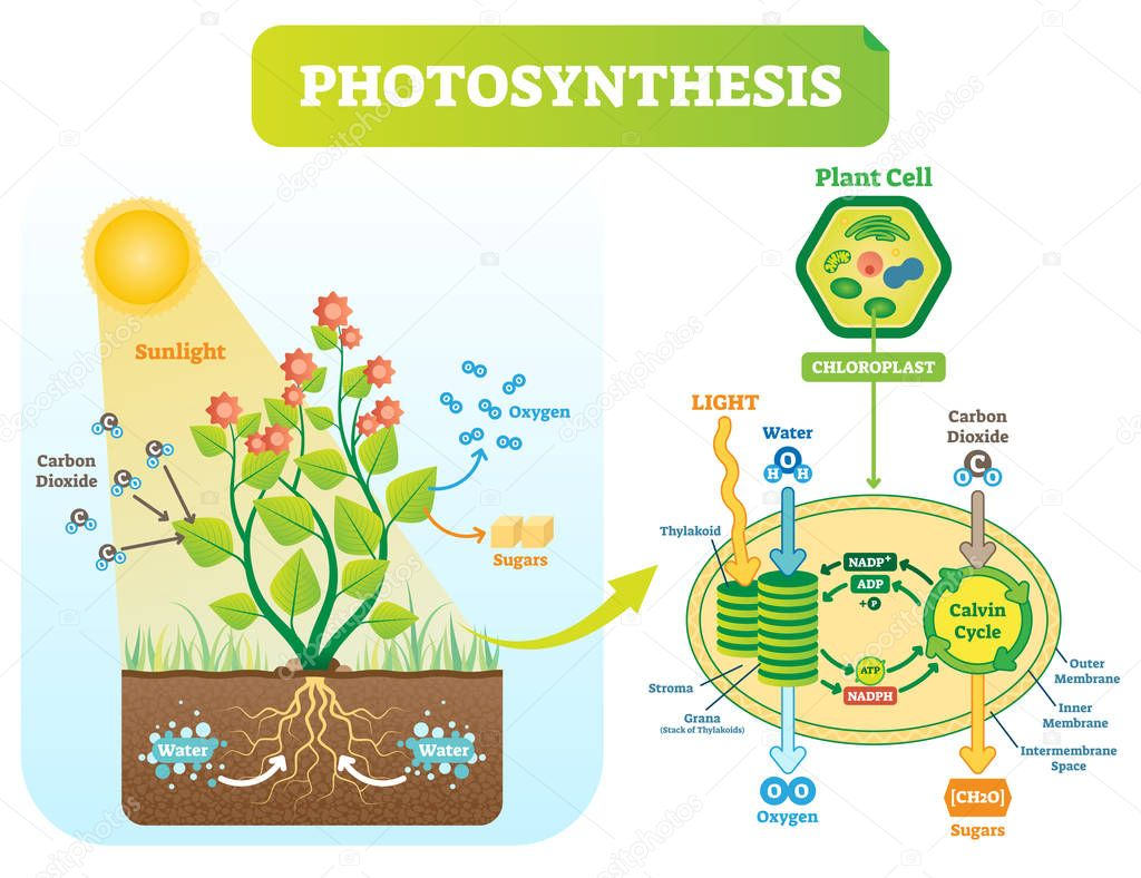 Photosynthesis biological vector illustration diagram with plan cell scheme.