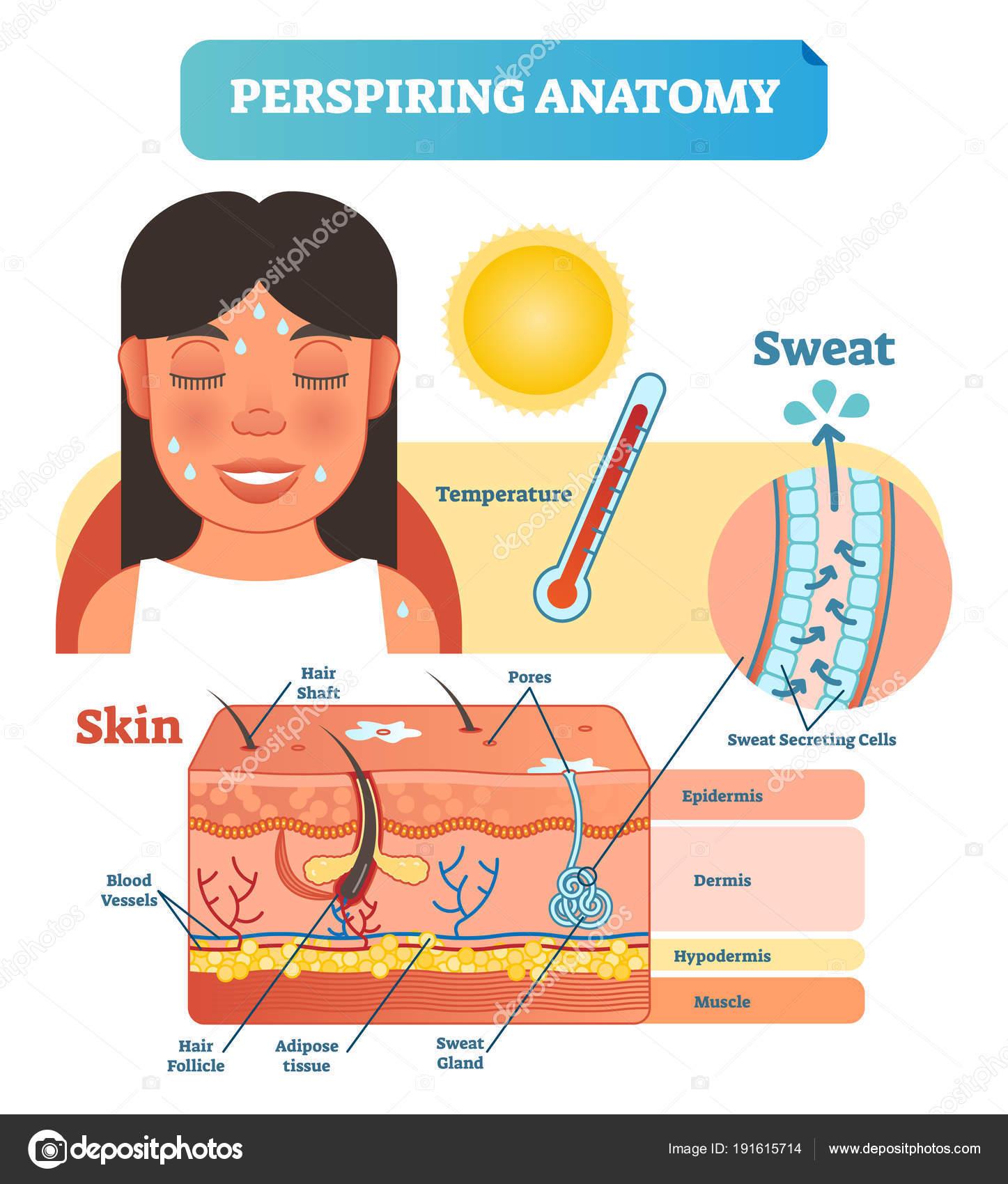 Transpirar la piel anatómica Cruz sección Vector ilustración ...