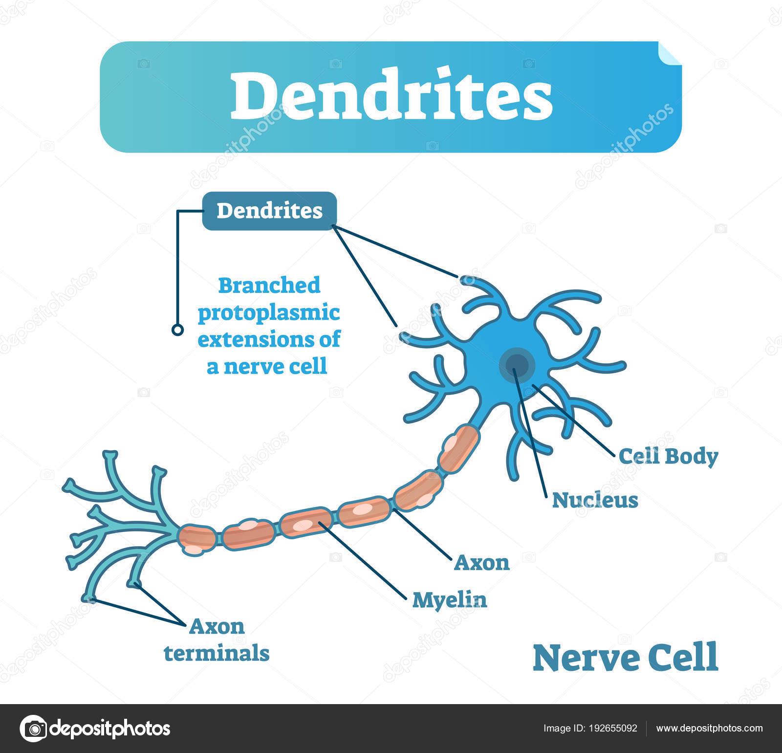 Diagrama de ilustración vectorial dendrita anatomía biológica con la ...