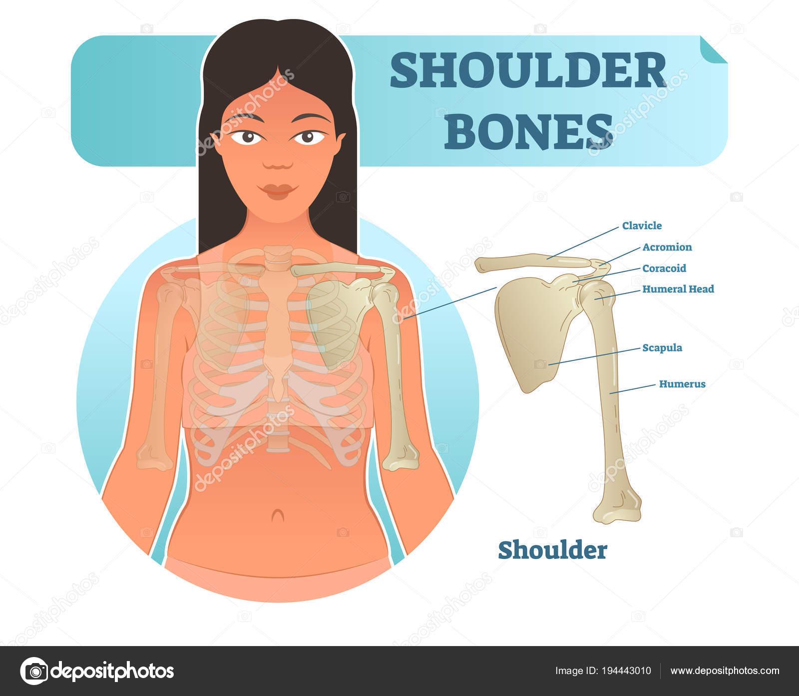 Cartel de diagrama de etiquetado hombro humano ósea anatómica vector ...