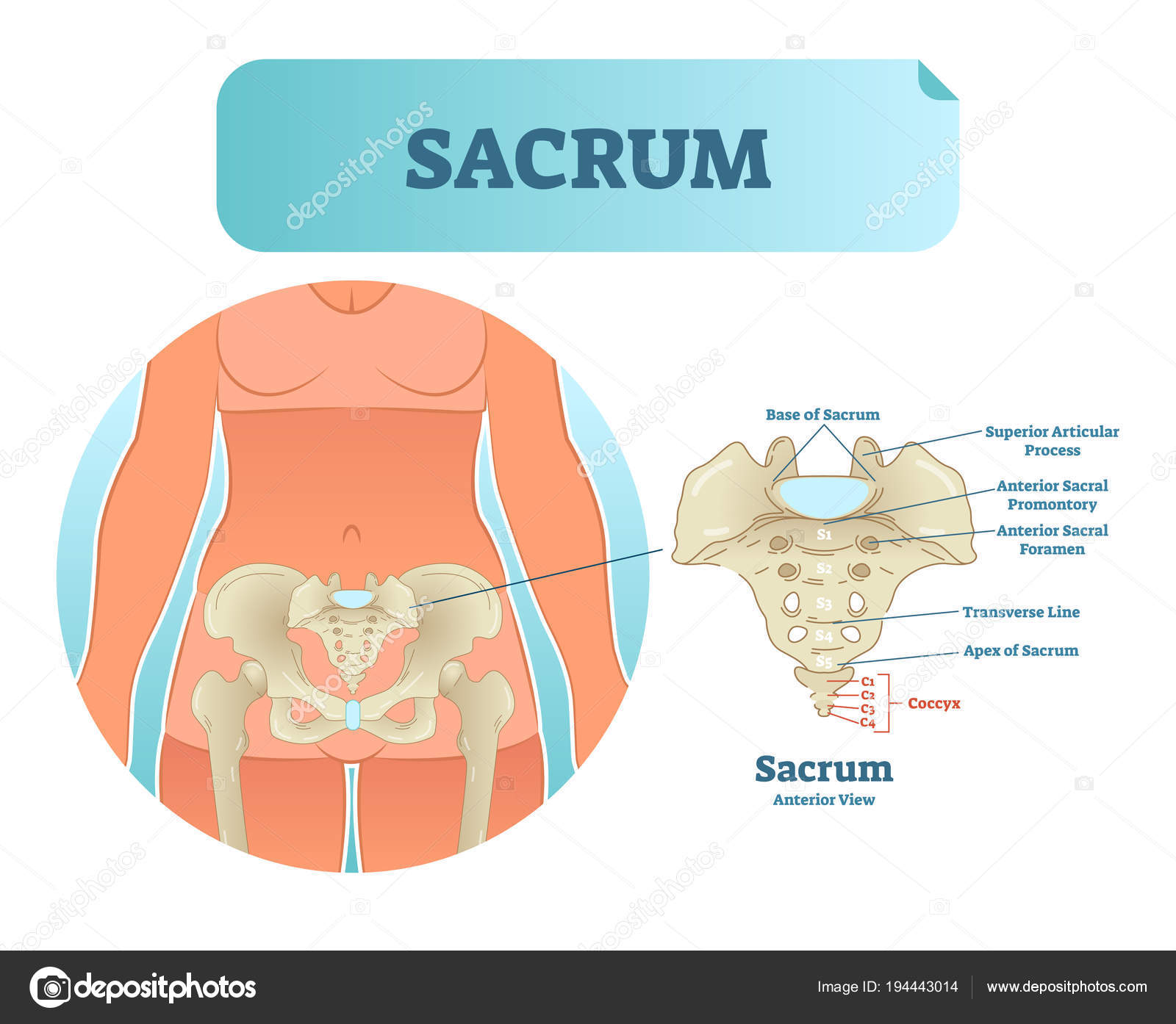 Human sacrum bone structure diagram, anatomical vector illustration ...
