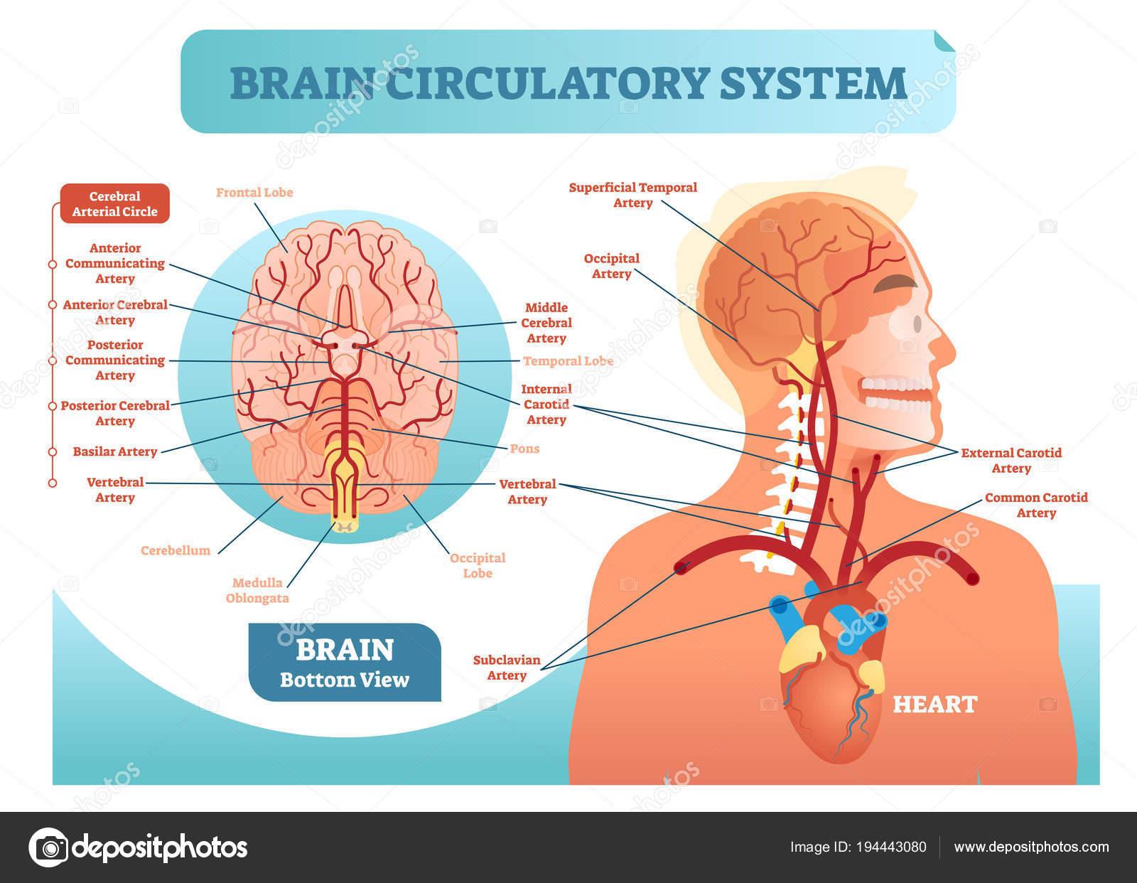 Diagrama de cerebro sistema circulatorio anatómico vector ...