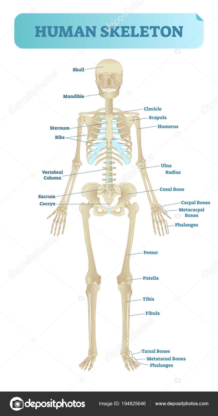 Sistema esquelético humano, modelo anatómico. Cartel de la ...