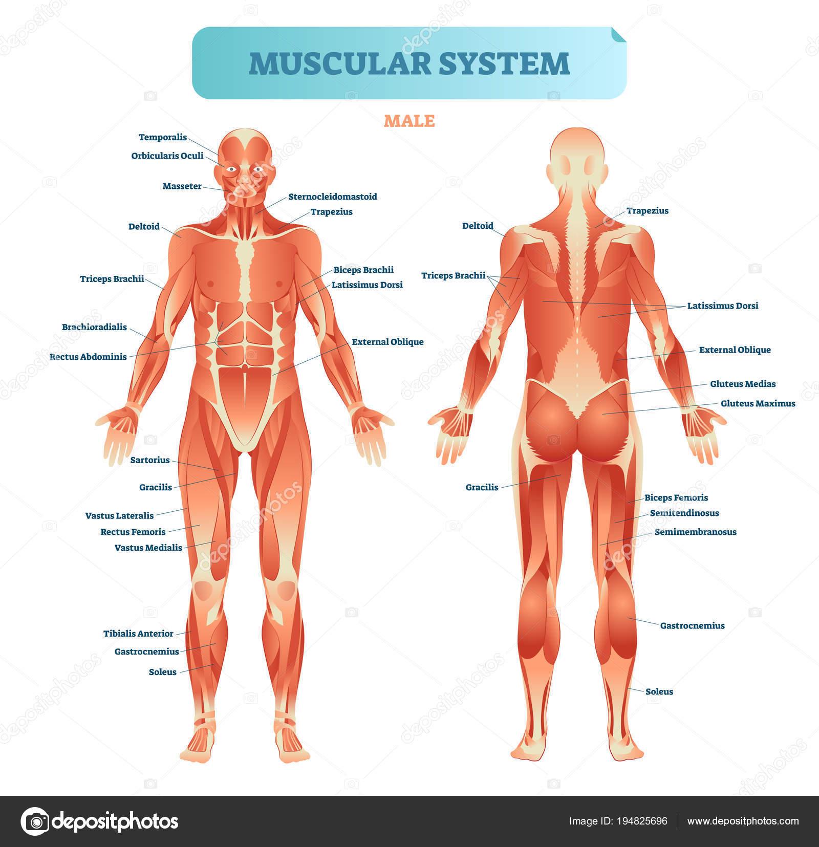 Männliche Muskulatur, allen anatomischen Körpers Diagramm mit Muskel ...
