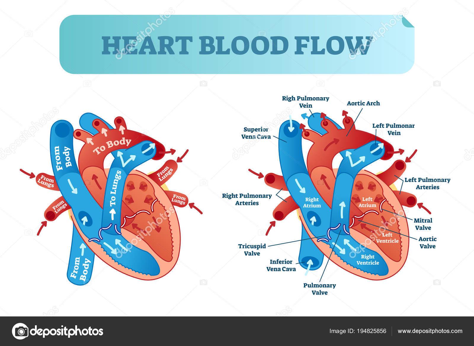 Corazón sangre circulación anatómica diagrama de flujo con sistema ...