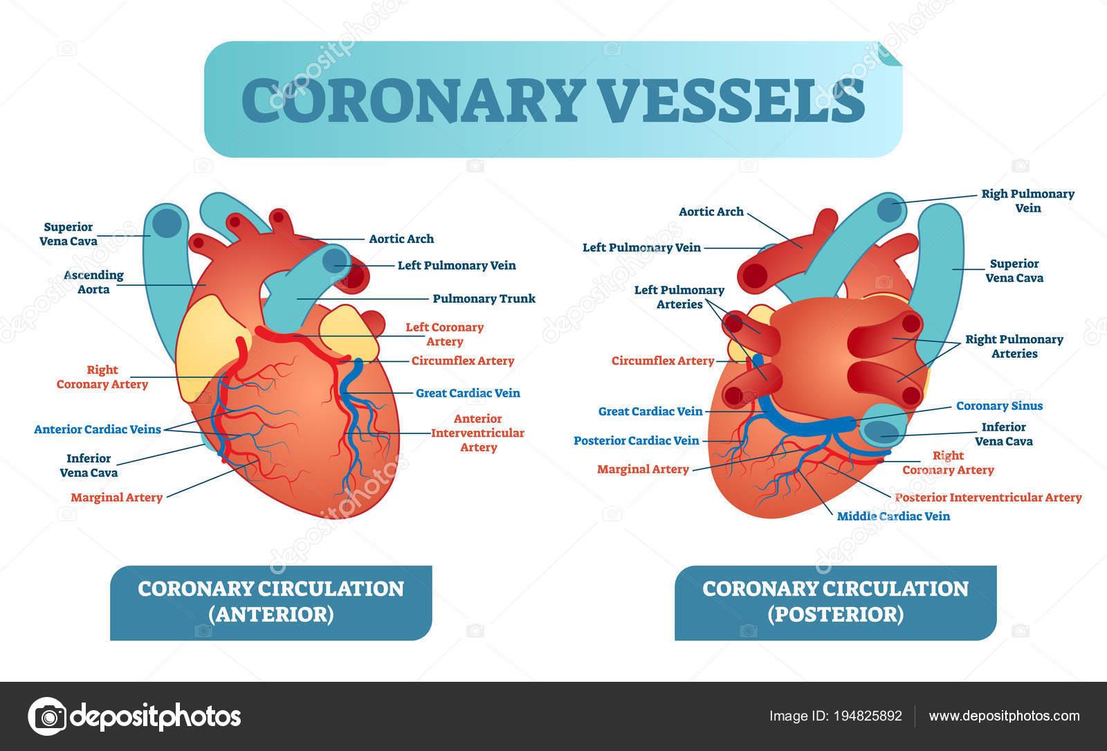 Ilustración de vector salud anatómica de vasos coronarios etiquetado ...