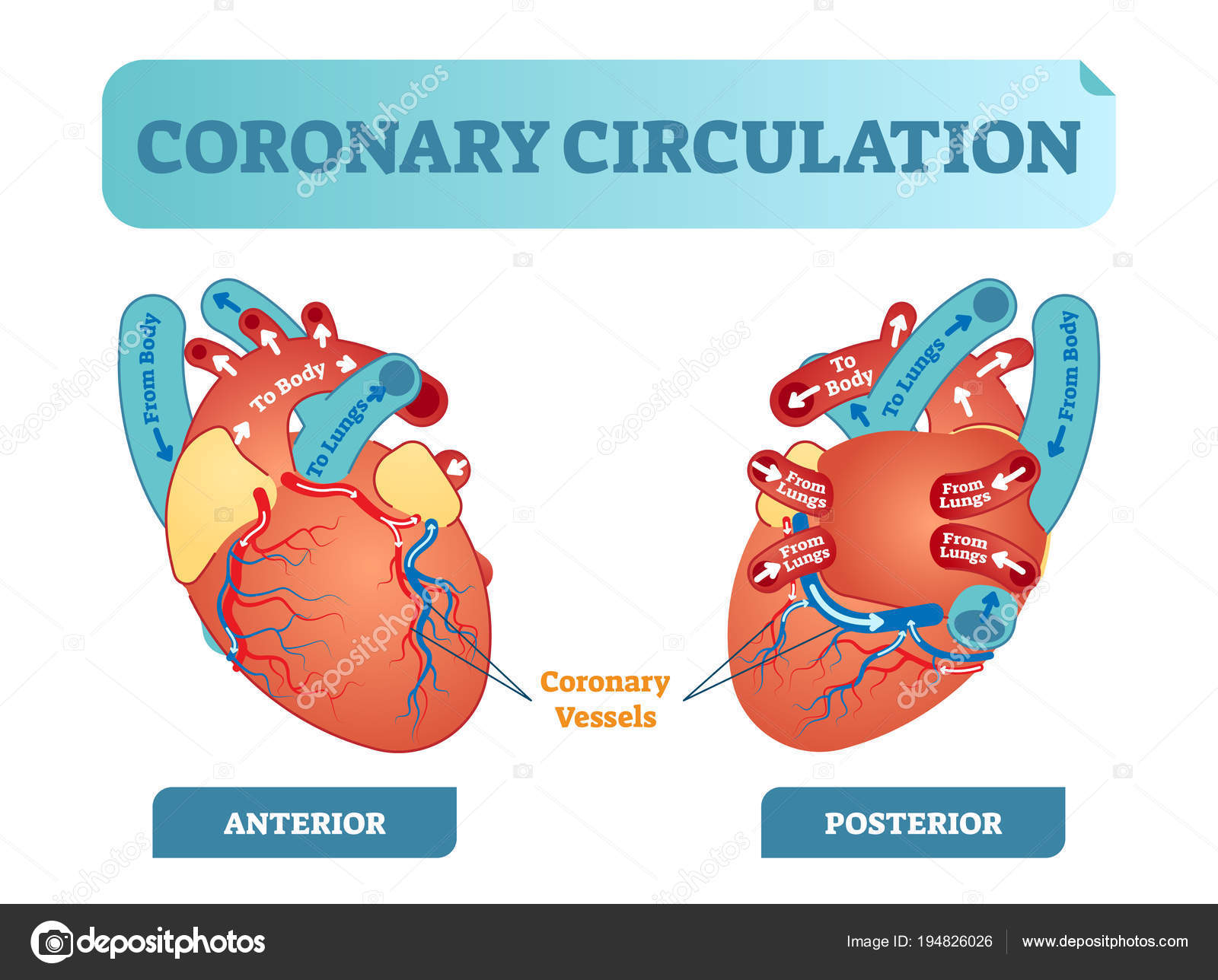 Coronary Circulation Anatomical Cross Section Diagram Labeled