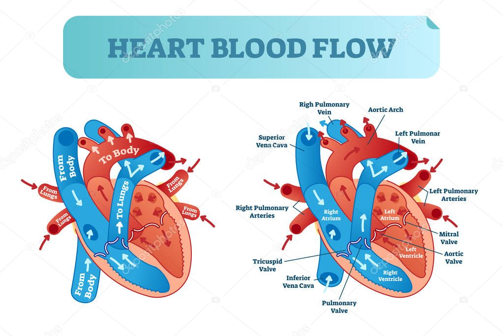 Heart blood flow circulation anatomical diagram with ...