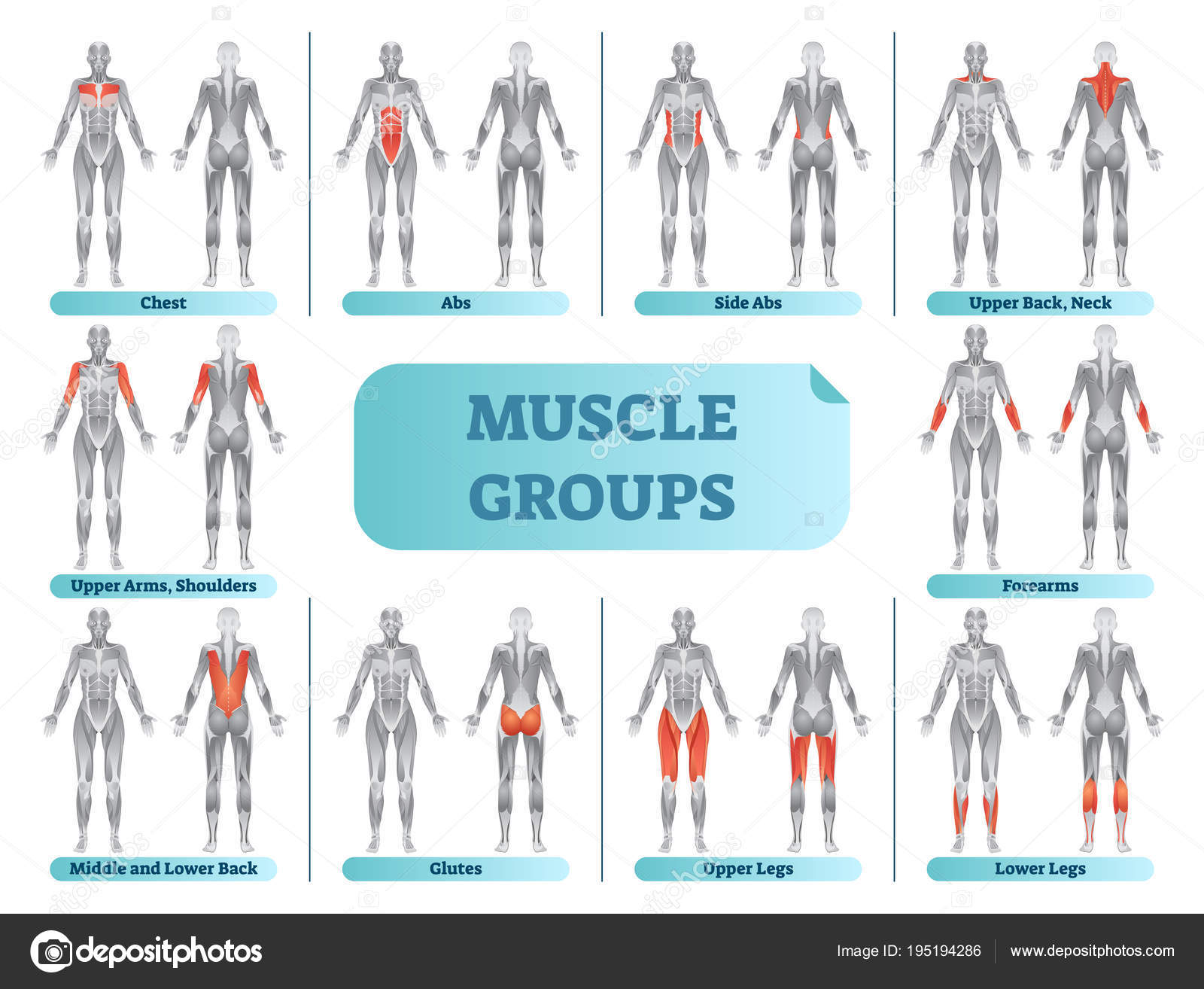 Female muscle groups anatomical fitness vector illustration, sports ...