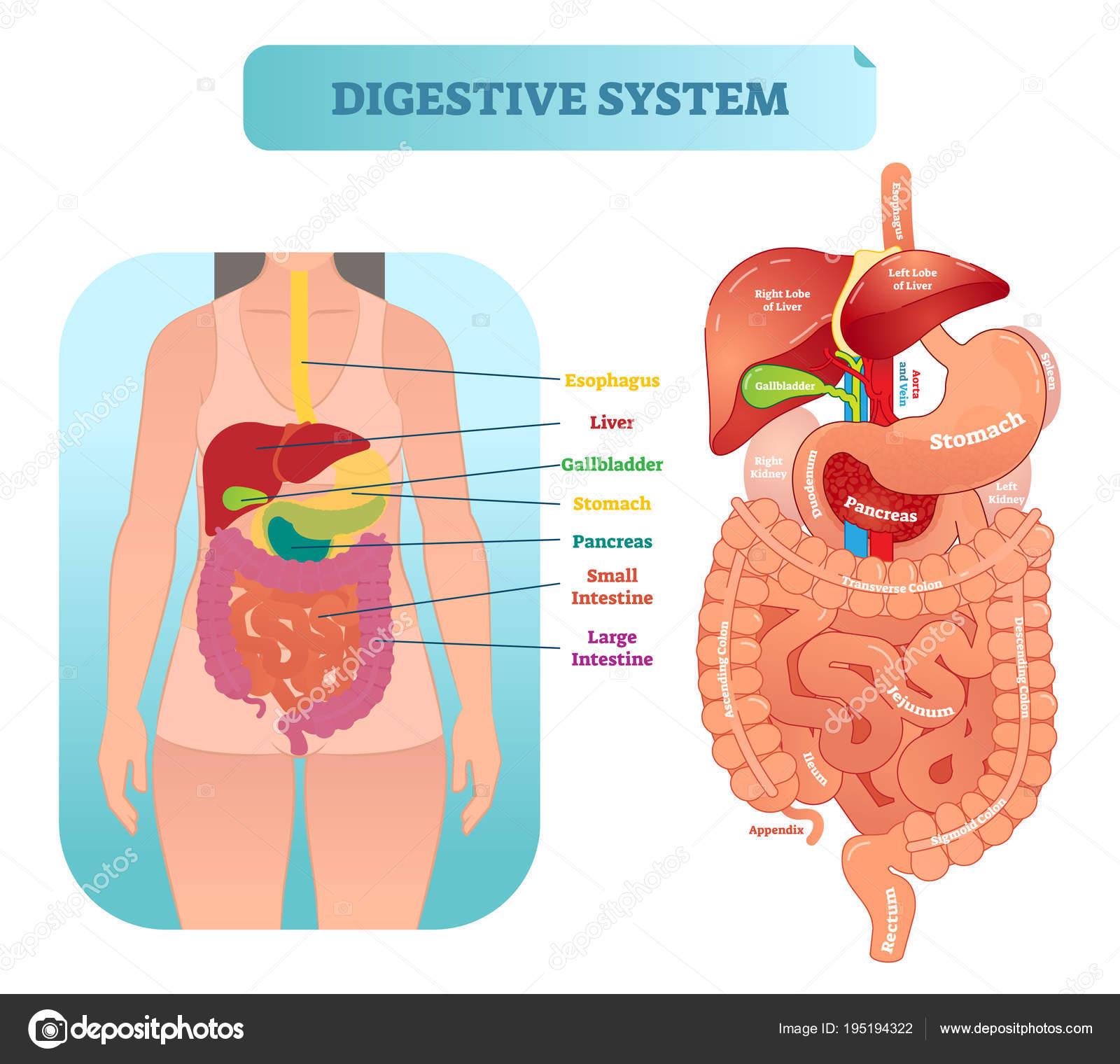 Diagrama de ilustración del vector anatomía de sistema digestivo ...