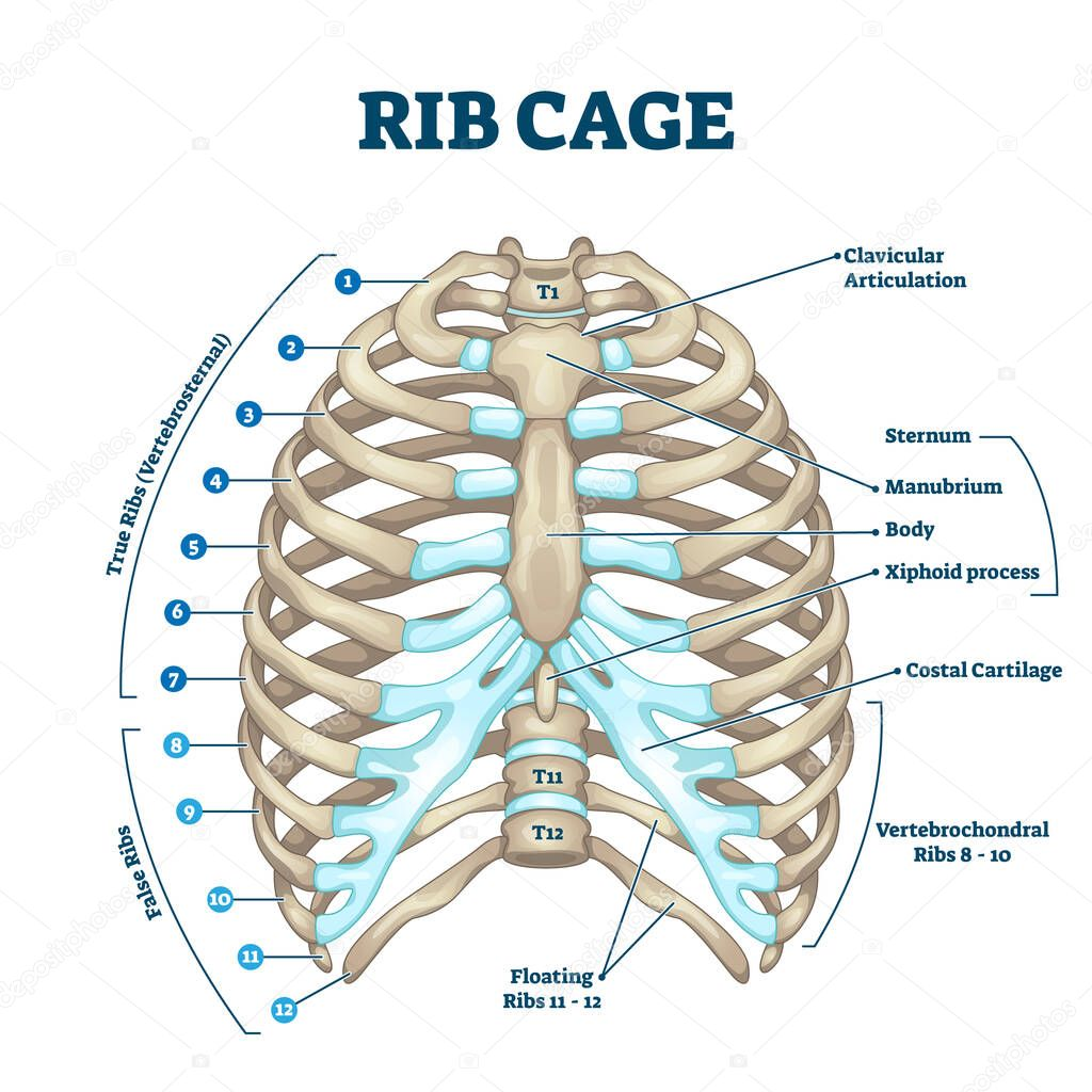 Rib Cage Anatomy Labeled Vector Illustration Diagram Medical Human Chest Skeletal Bone Structure Model Numbered Ribs Sternum Cartilage Parts And Clavicular Articulation Health Care Education Premium Vector In Adobe Illustrator Ai