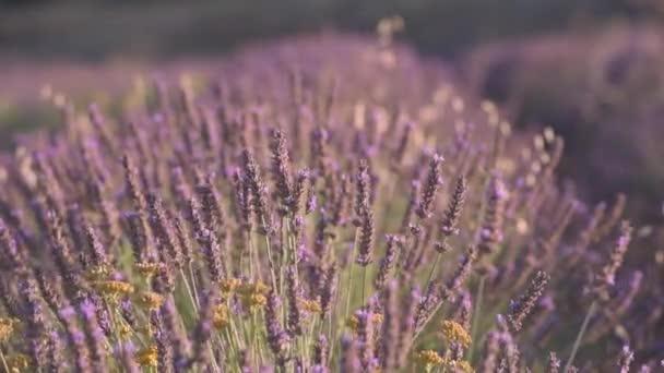 Květu levandule pole