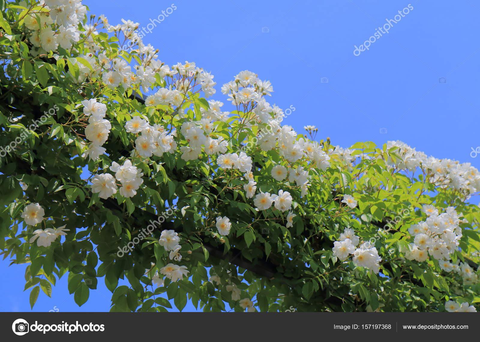 White Flower Arch Garden Arcade Stock Photo Tkkurikawa 157197368