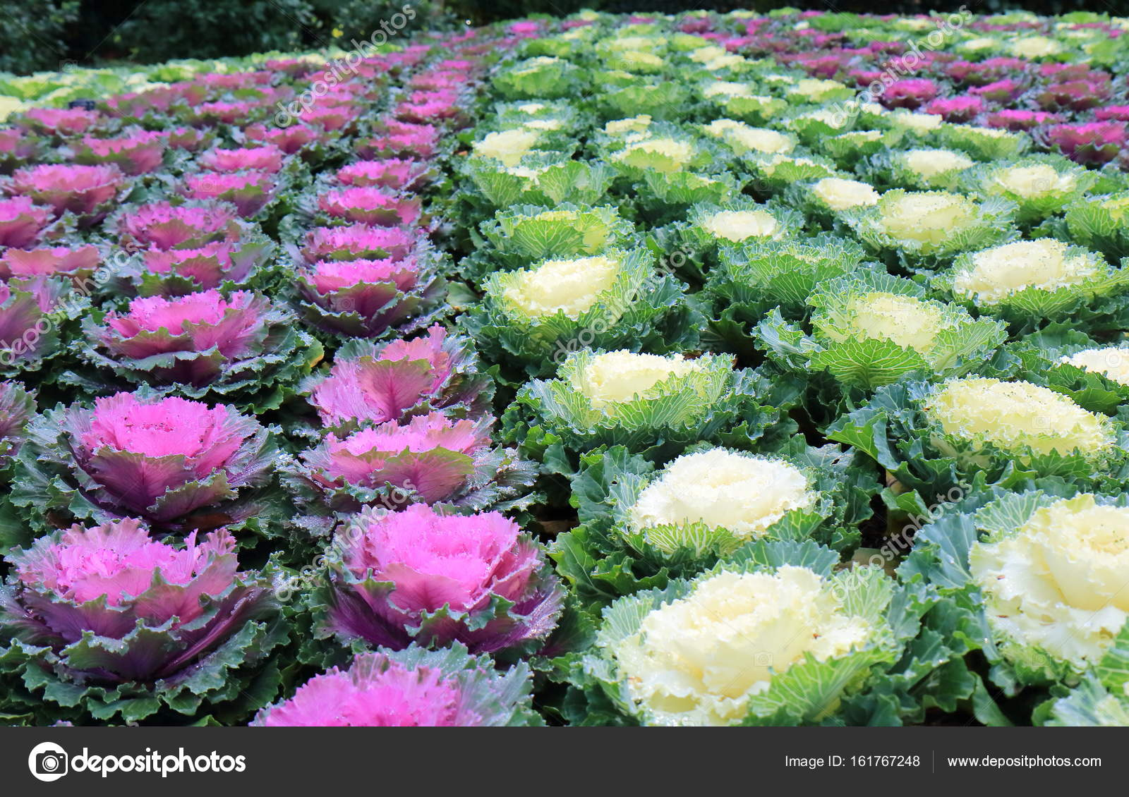 Purple and white flower bed stock photo tkkurikawa 161767248 purple and white flower bed stock photo mightylinksfo