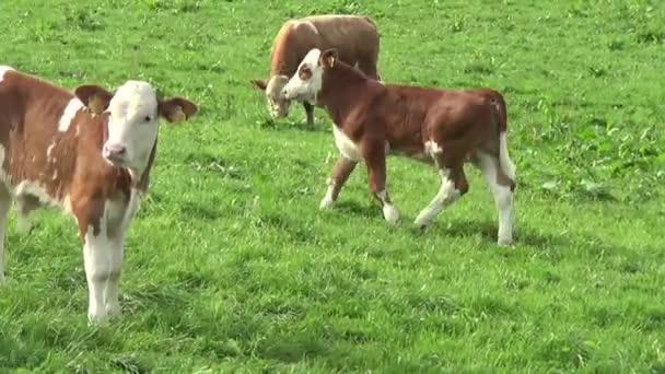 Mucche e vitello sul prato
