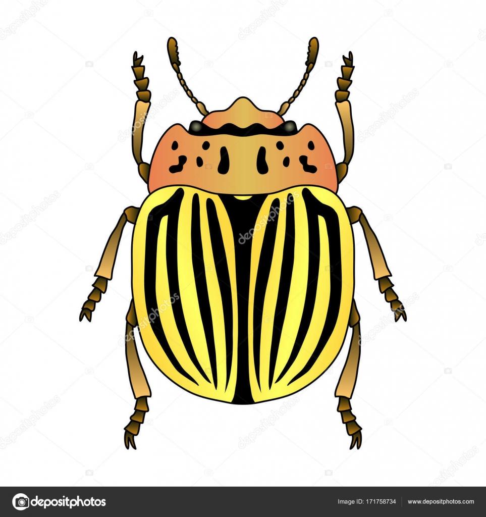 Imágenes Escarabajo Dibujo Escarabajo De Patata De Colorado