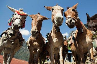 donkeys in Nepal Mountains trekking