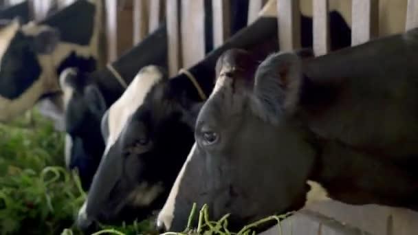mucche dalimentazione in stalla in fattoria