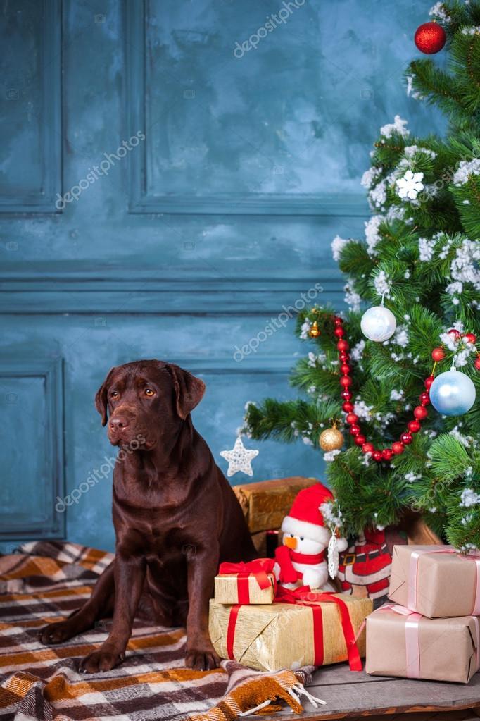 black labrador retriever sitting with gifts on christmas decorations background photo by vova130555gmailcom