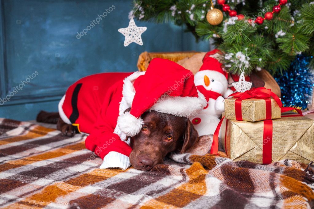 black labrador retriever lying with gifts on christmas decorations background photo by vova130555gmailcom - Black Lab Christmas Decor