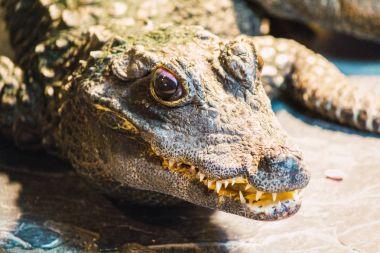 Crocodile in lights sitting on stone