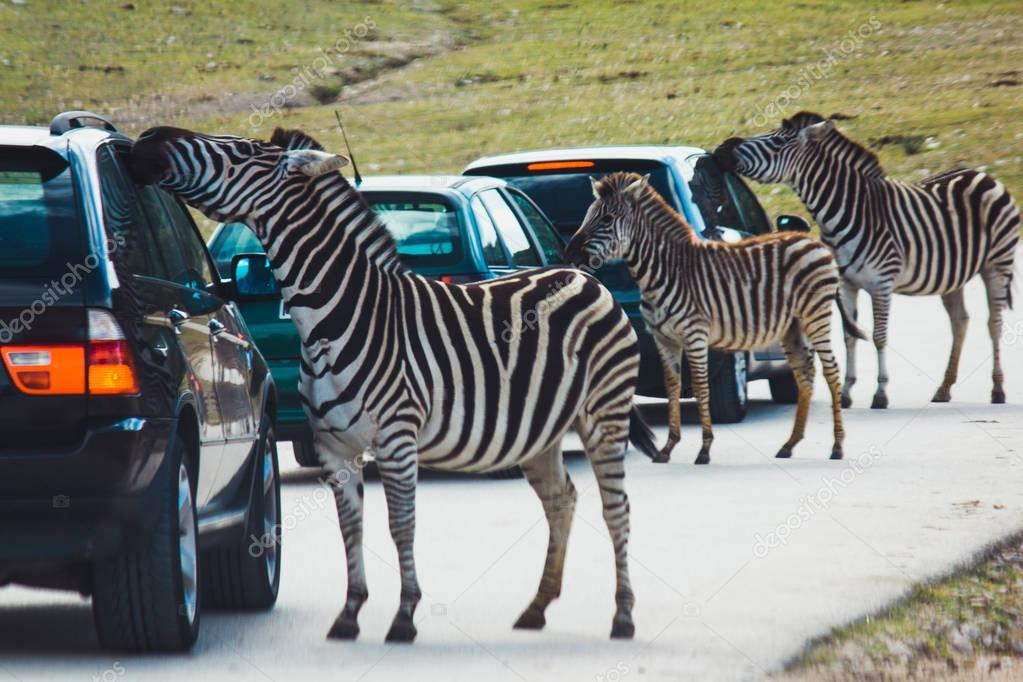 Zebras looking inside of cars on highway