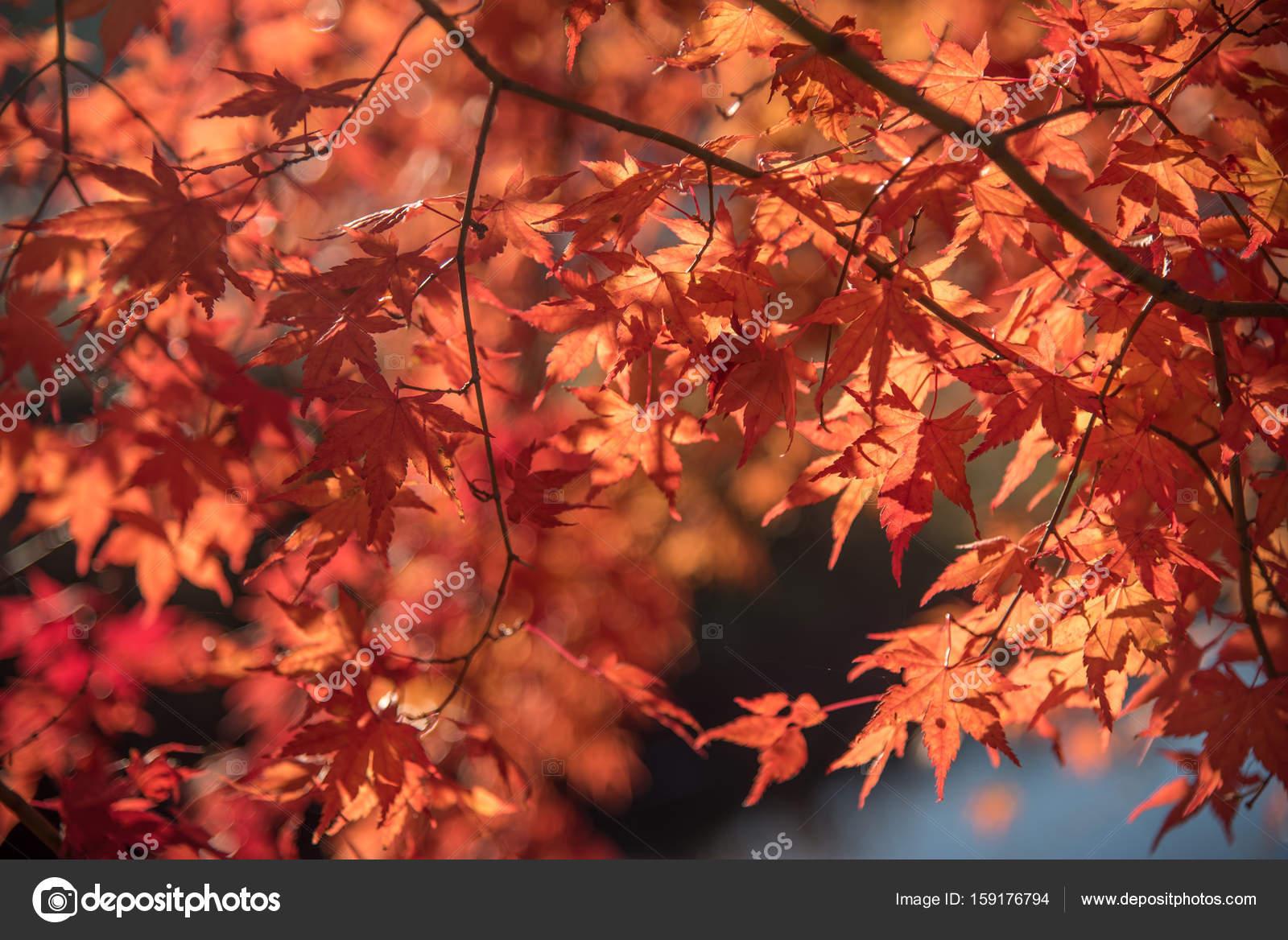 Foglie di acero rosso giapponese in autunno foto stock for Acero rosso giapponese