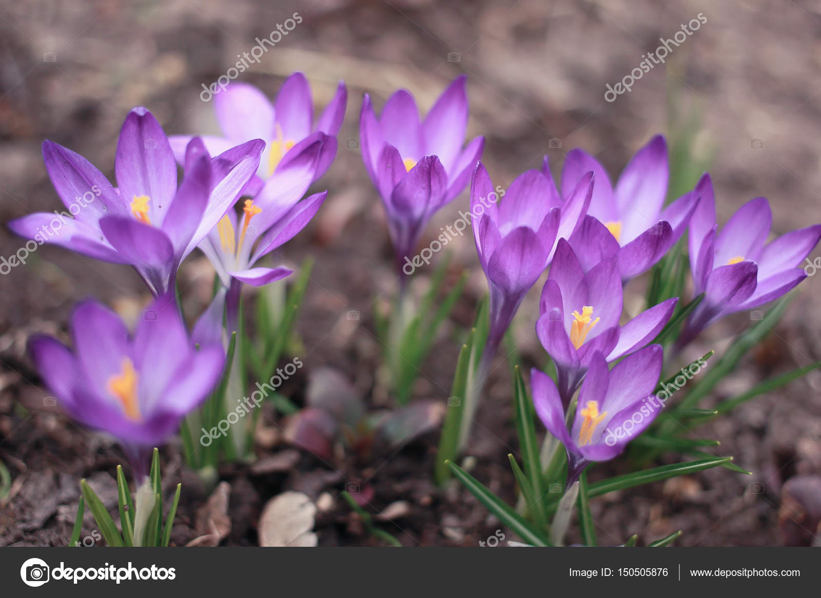 Crocuses Small Spring Flowering Plant With Purple Flowers Stock