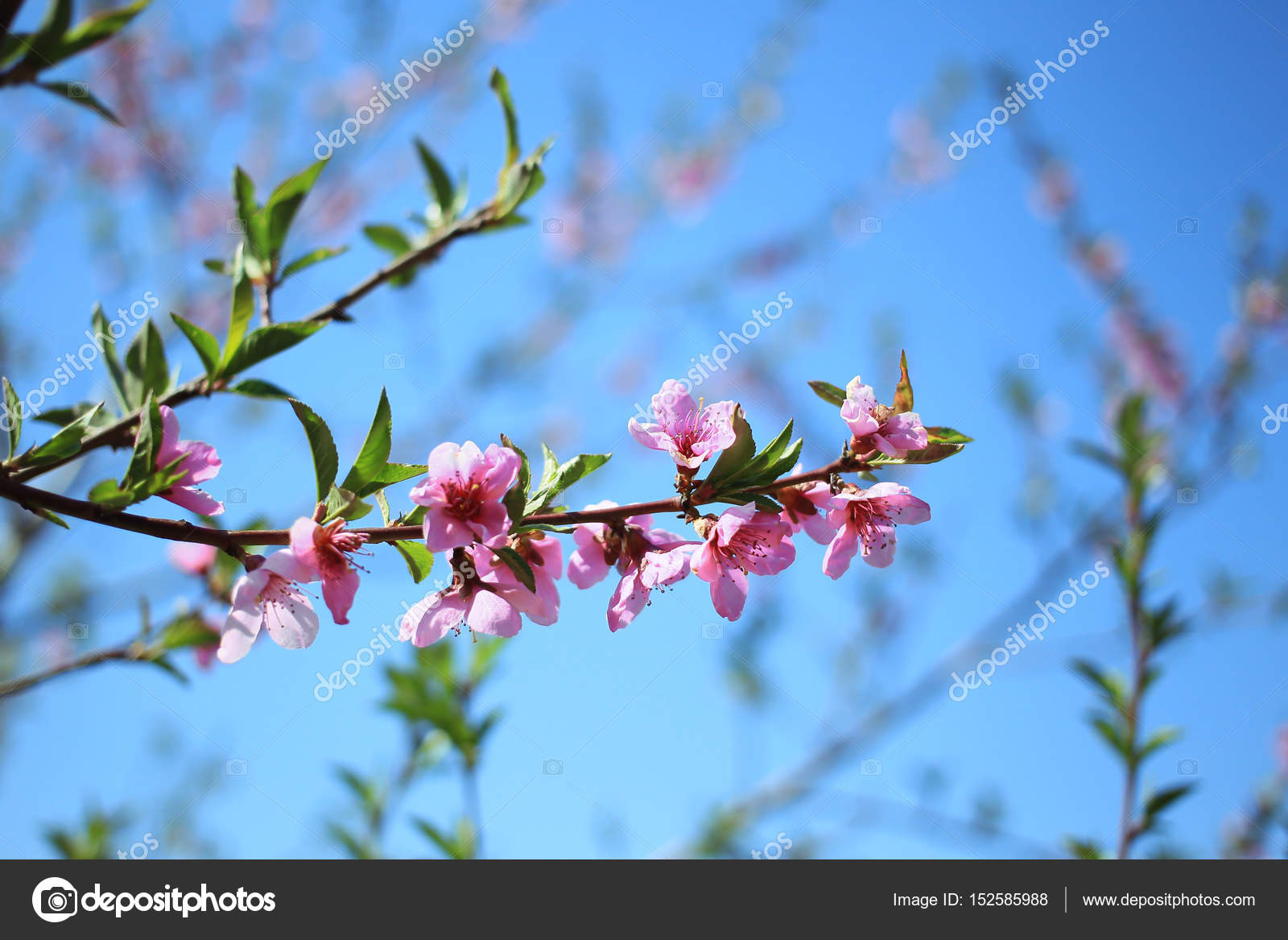 Branch of flowering spring trees on the blue sky background stock branch of flowering spring trees on the blue sky background stock photo izmirmasajfo