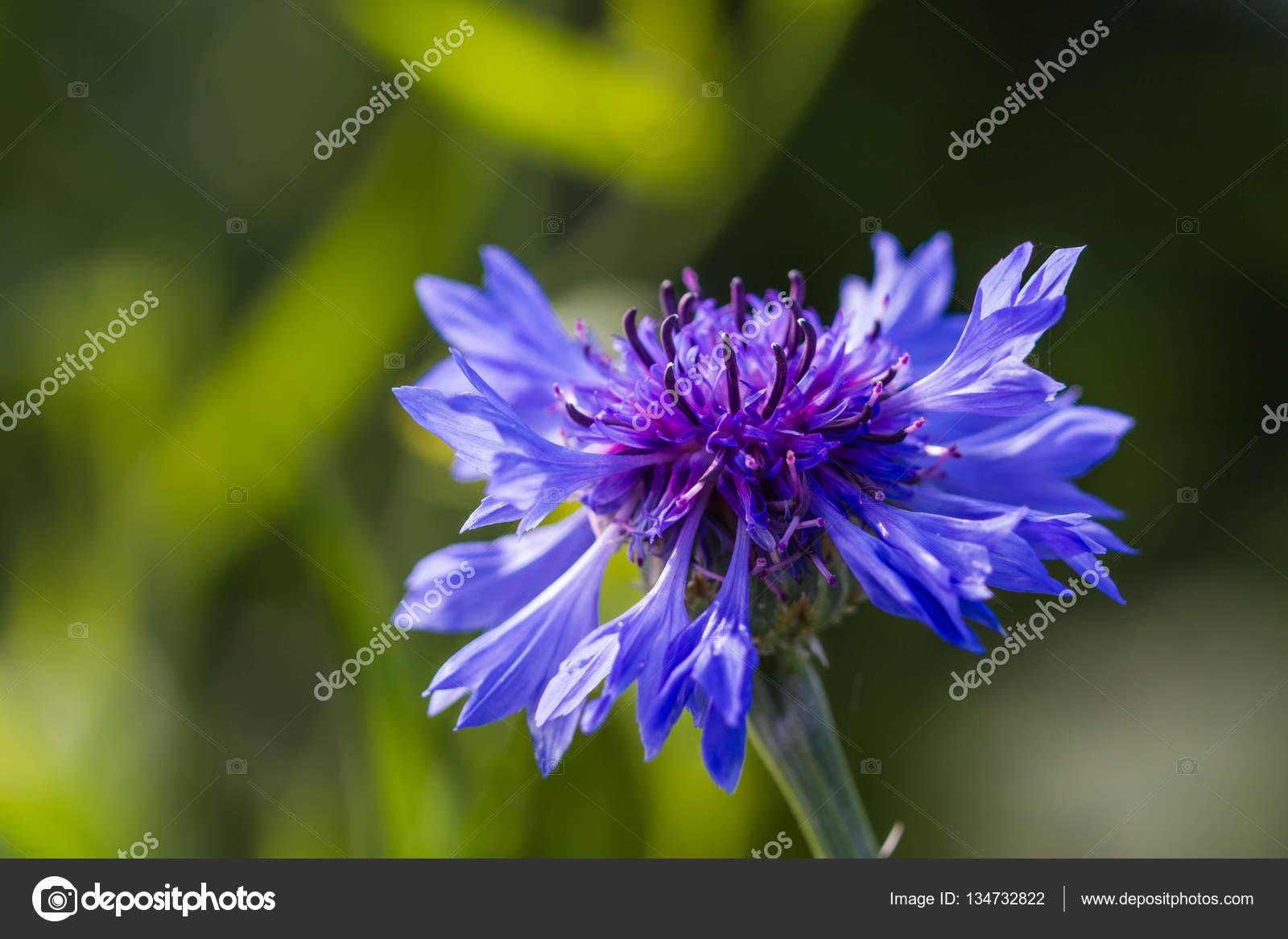 Beautiful blue winter flowers on nature stock photo beautiful blue winter flowers on nature photo by nawinnachiangmai izmirmasajfo