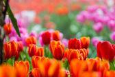 tulipánok a kert szelektív összpontosít a