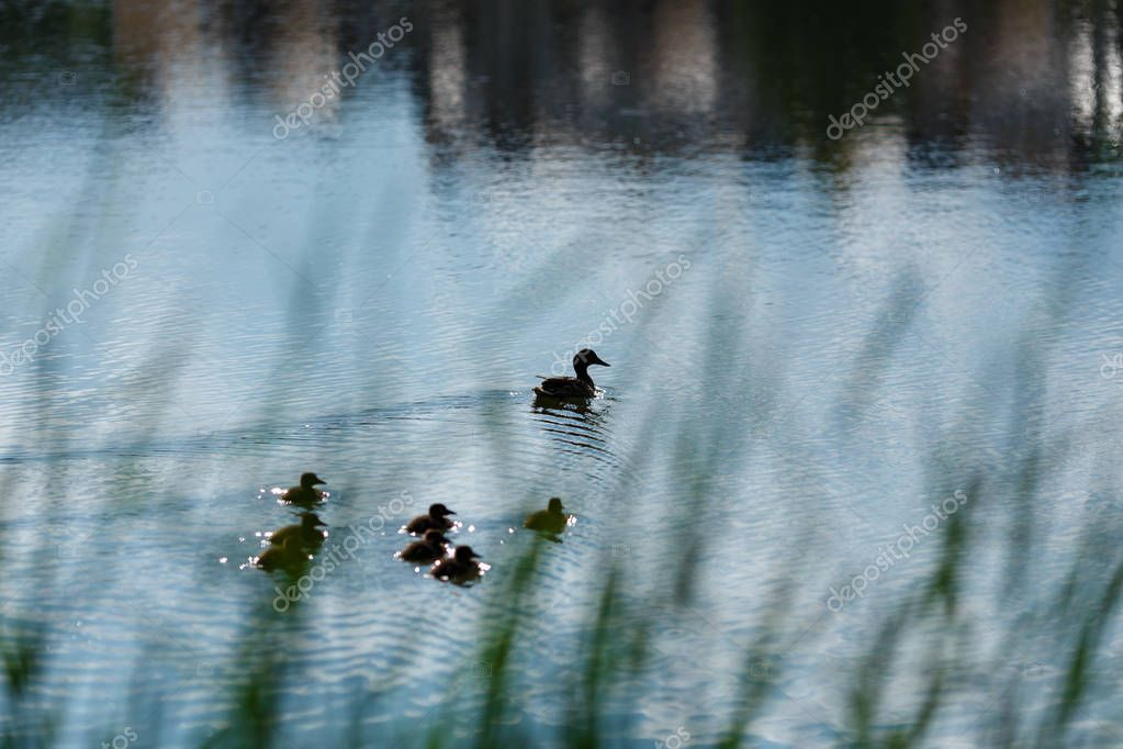 Cute ducklings duck babies following mother in a queue, lake,s