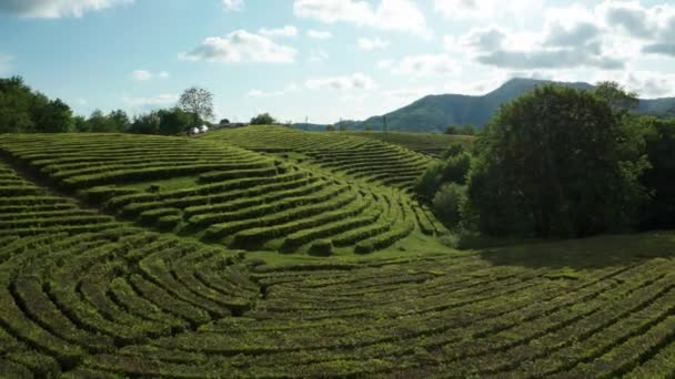 Beautiful view of tea plantations from a birds-eye view. Aerial video. Sunset. Macesta. Sochi. High mountains. Smooth rows of green bushes. Green trees. The rays of the sun.