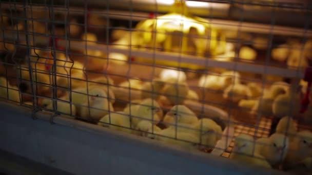 kleine Hühner im Käfig