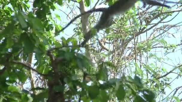 Scimmia che salta da un albero a altro. Slow motion