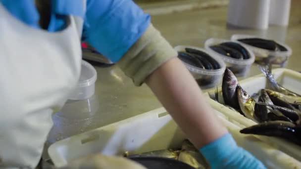 Kontrolor kontroluje kvalitu ryb pro další balení v továrně na mořské plody. Třídění rybího filé v plastových nádobách