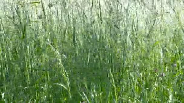 Vysoké zelené trávy jemně mávat ve větru. Detail