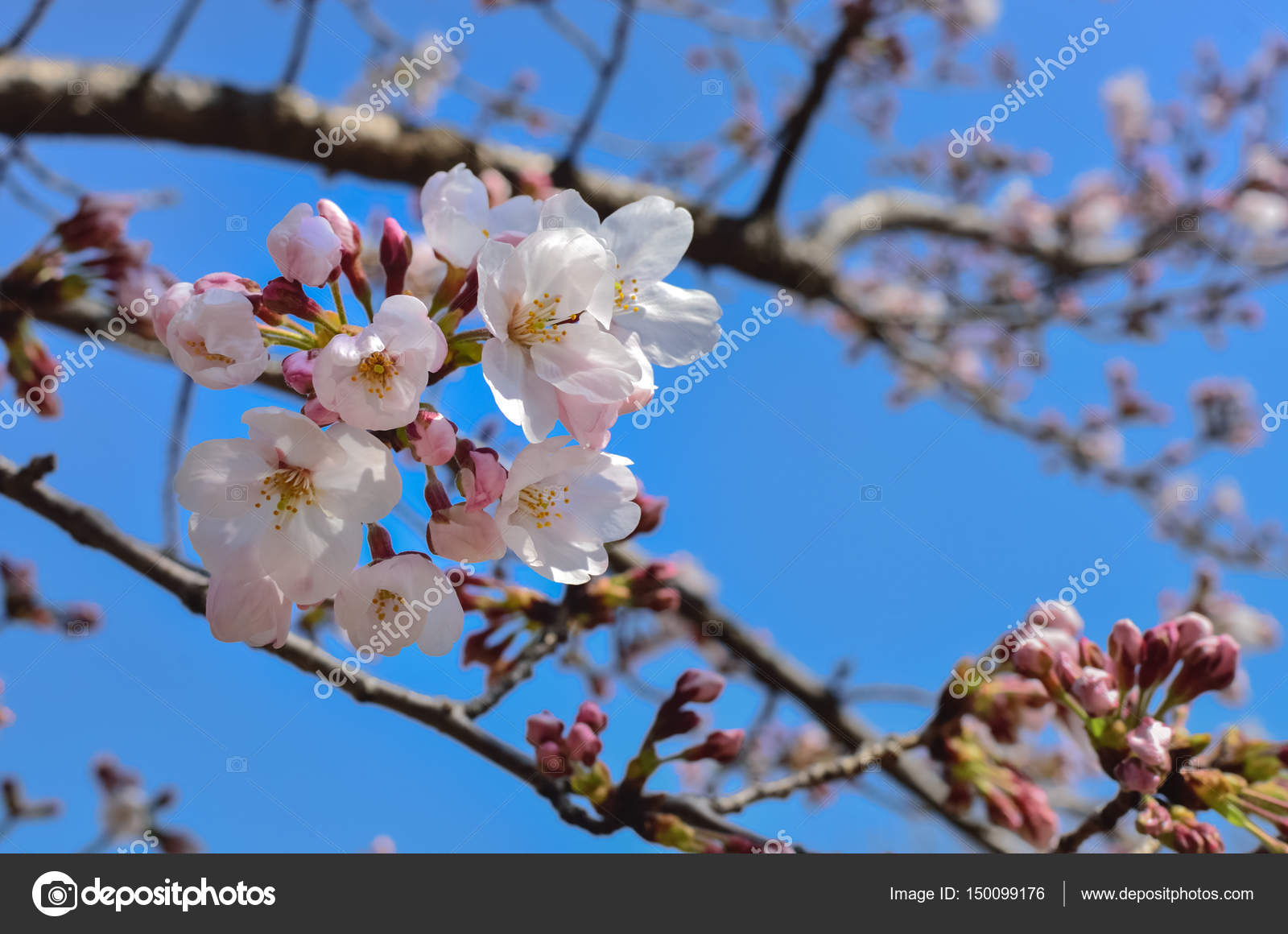 Beautiful Sakura Flowers In Japan Stock Photo Vichailao 150099176