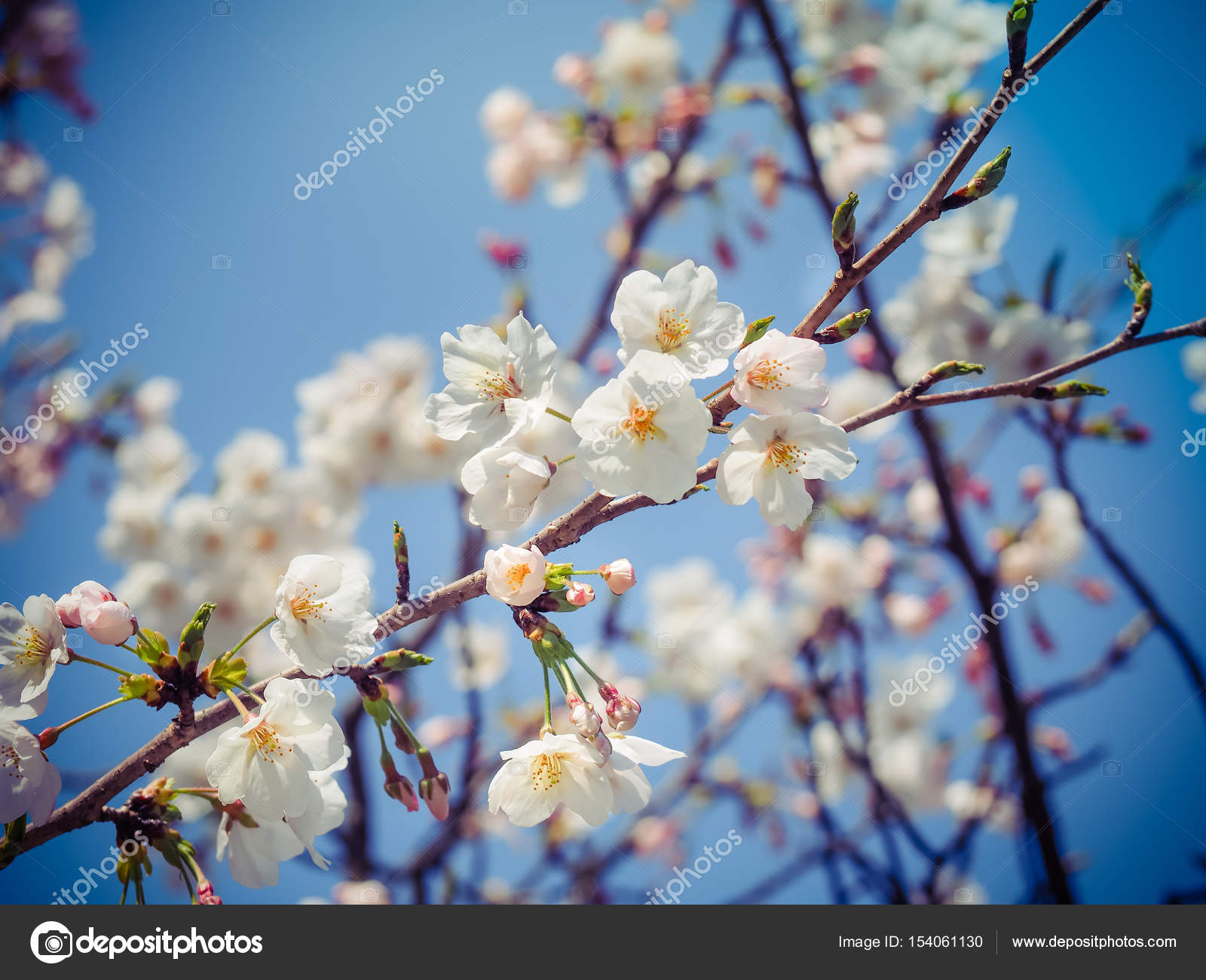 Beautiful White Sakura Flowers In Japan Stock Photo Vichailao