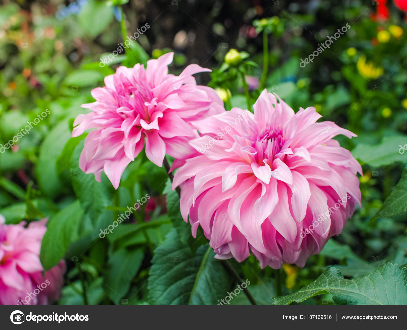 Beautiful Pink Dahlia Flower Garden Chinese Flower Stock Photo