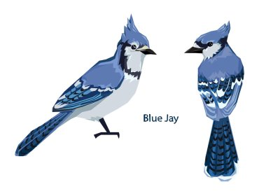 two Blue Jay birds isolated