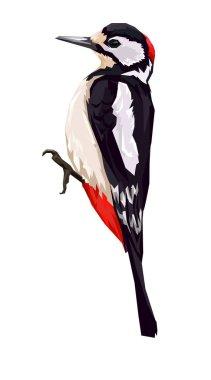 Woodpecker on white background