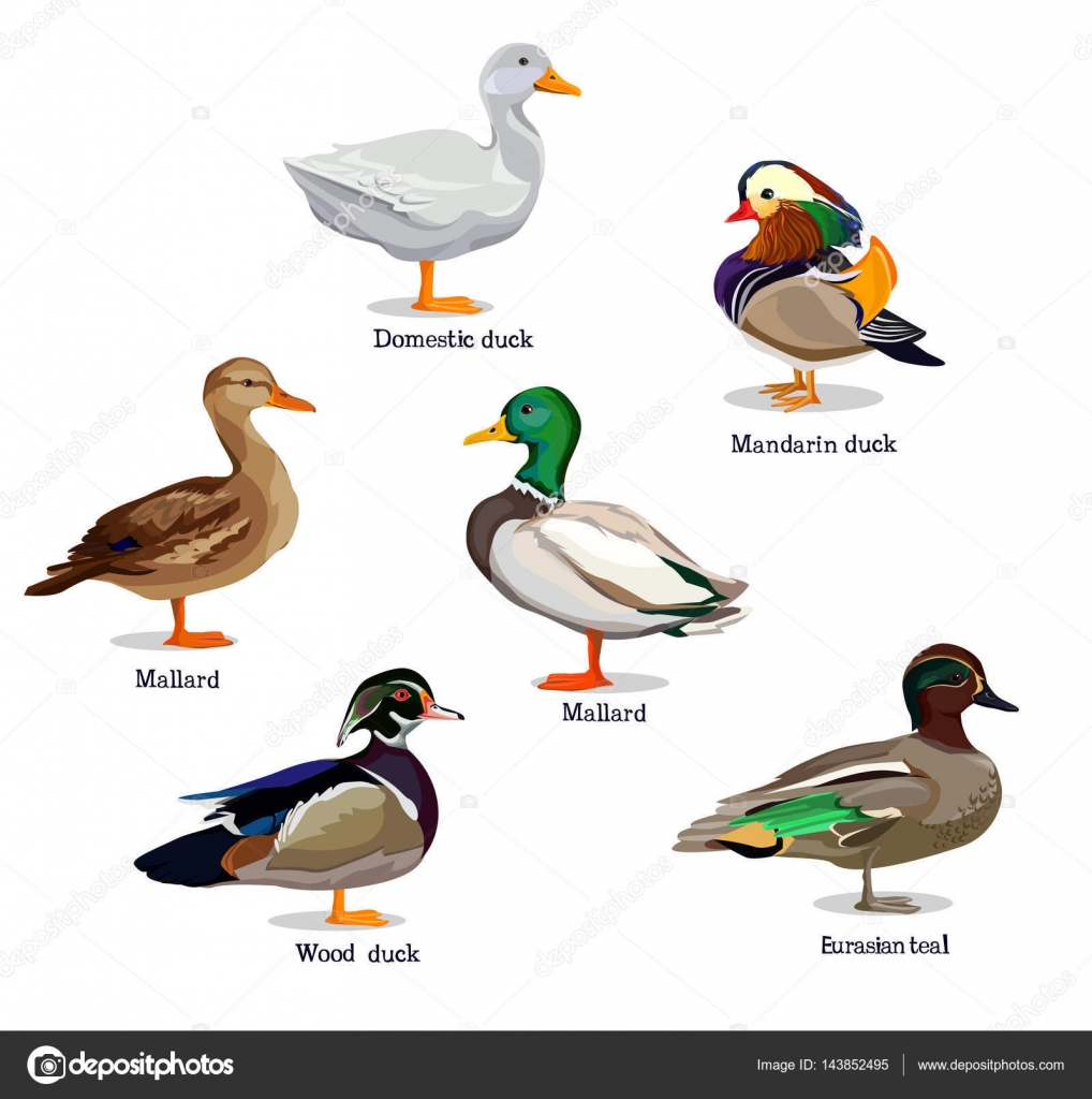 Set of different ducks stock vector alsoush 143852495 - Illustration canard ...