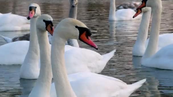 Swan River 4k schwimmen