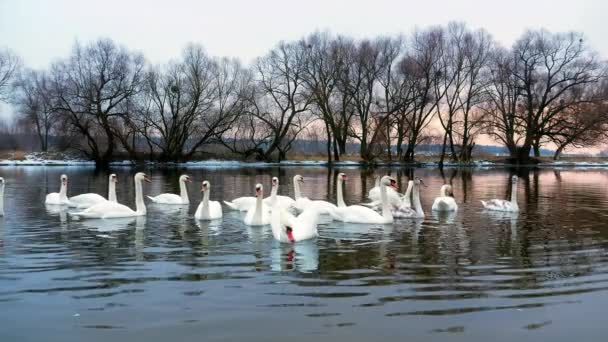 Swan koupání na řece 4k