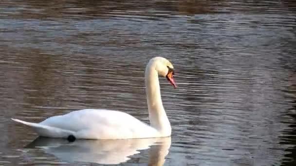 Schwan schwimmt auf Fluss 4k