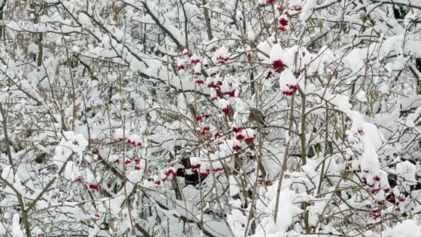 Winter-Drosselrose Schneevögel