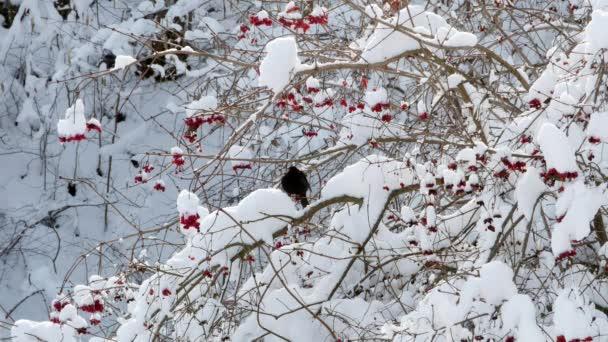 Zimní Kalina sněhová ptáci Starlingová 4k