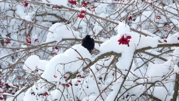 Winter guelder rose snow birds starling 4k